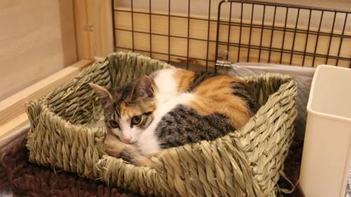 ウサギ用のベッドで寝る猫