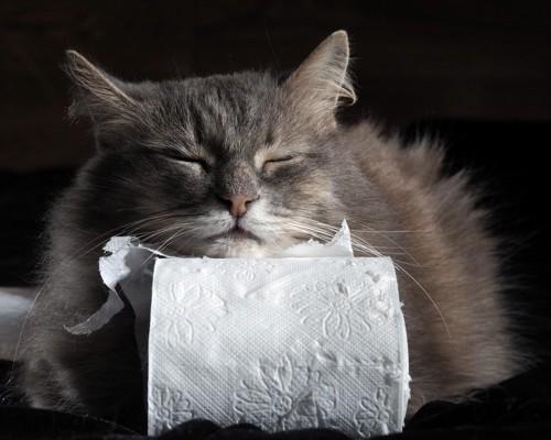 トイレットペーパーを枕にする猫