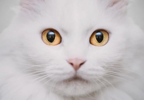 大きな瞳の白猫の顔アップ