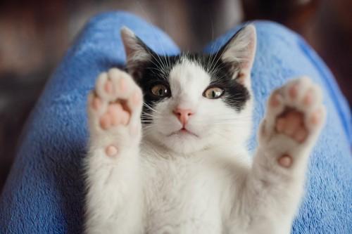 膝の上に乗って両手を挙げる猫