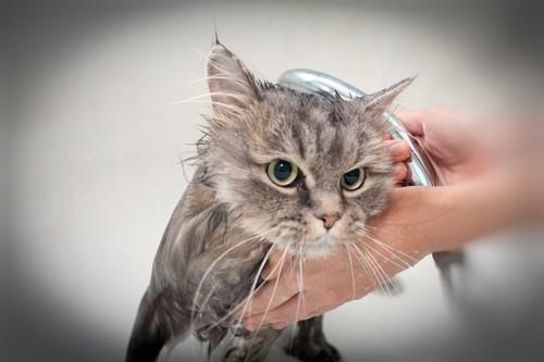シャワーされて不機嫌な猫
