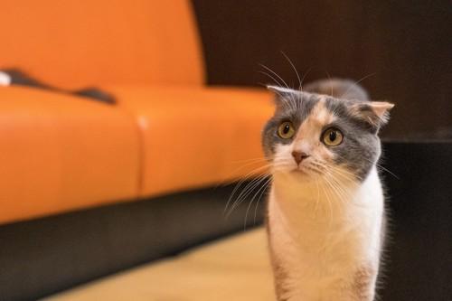 驚いた様子で何かを見つめる猫