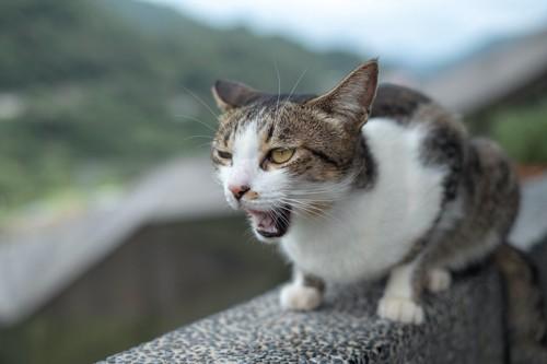気持ち悪そうに口を開けている猫