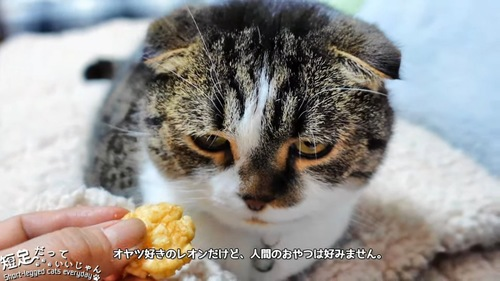 折れ耳の猫