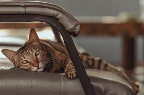 ソファで横になる猫