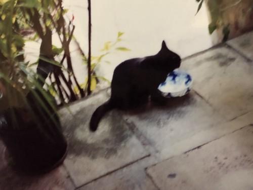 食事をする黒いヘミングウェイキャット