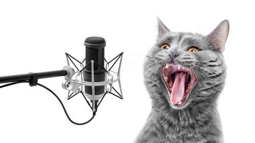 マイクに大声で鳴く猫
