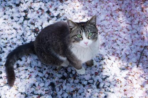 舞い落ちた桜の花びらの上に座る猫