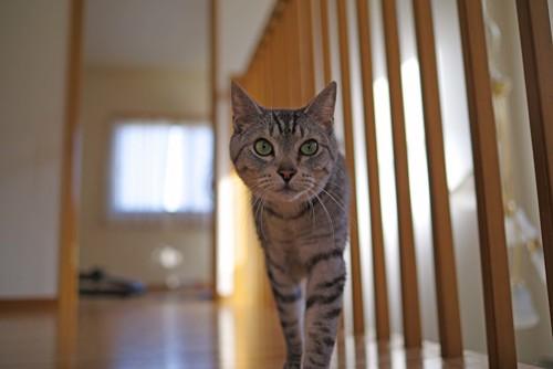 家の中を自由に歩く猫