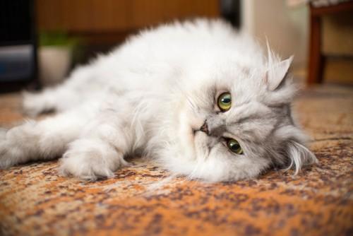 床に寝転がるペルシャ猫
