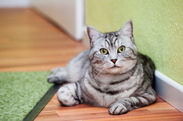 廊下に寝そべってこちらを見ている猫