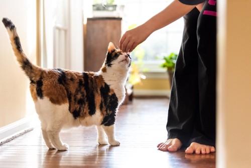 撫でる人を見上げる猫