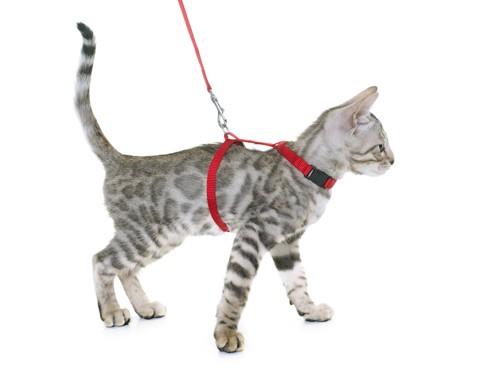 赤いハーネスをつけた子猫