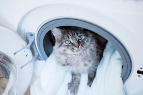 洗濯物のタオルで遊ぶ猫