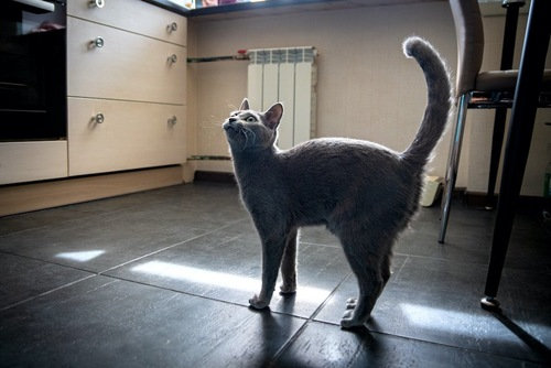 しっぽを上げて見上げる猫