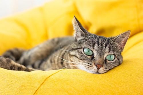 黄色いクッションの上の猫