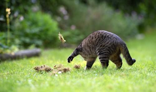 地面を勢いよく掘る猫