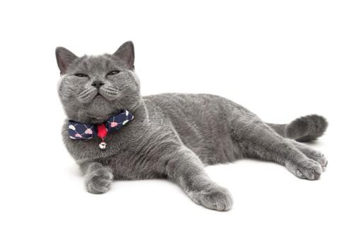紺のリボンの首輪をした猫