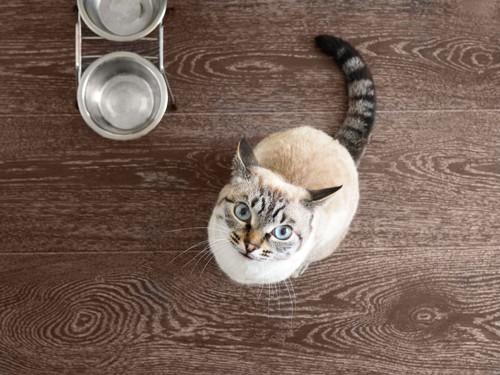 ご飯を要求する猫