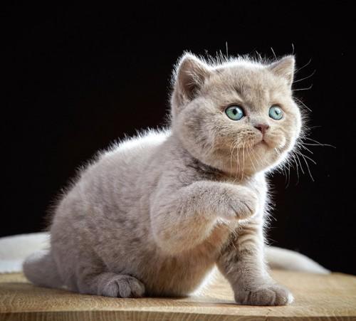 片手を上げているブリティッシュショートヘアの子猫