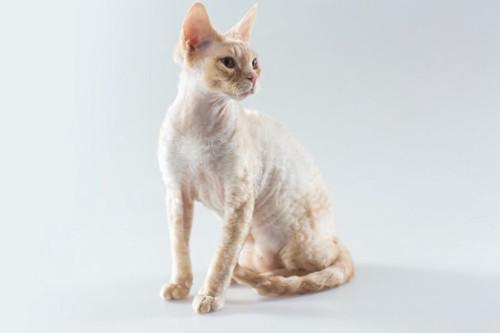 コーニッシュレックスの子猫