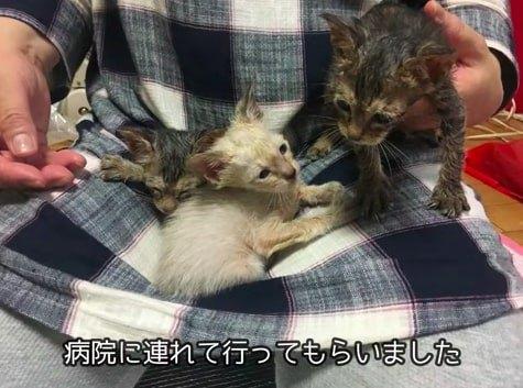 膝の上の子猫たち