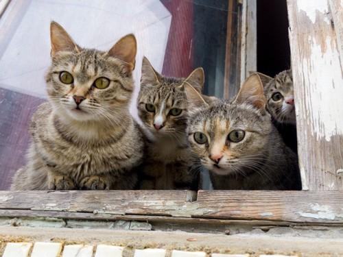 窓から見つめる4匹の猫