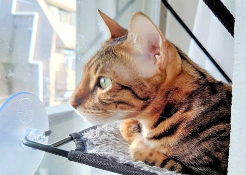 窓の外を見るベンガル猫