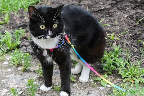 カラフルなハーネスをつけて散歩をする猫