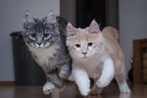 室内を走る2匹の猫