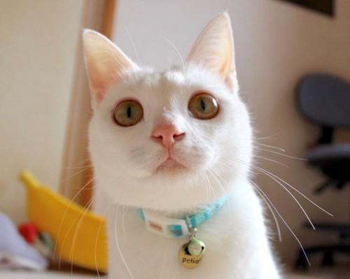 かわいい顔の白猫リリーちゃん