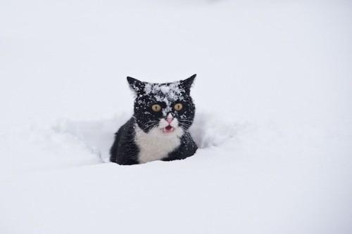 雪の中に埋もれて驚いている猫
