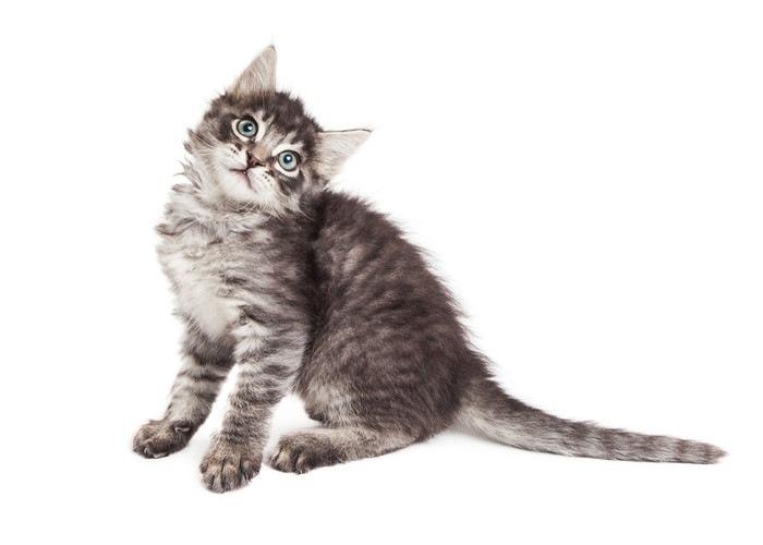 頭を傾ける猫