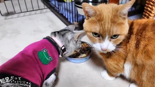 ごはんを食べる服を着た猫と茶色の猫