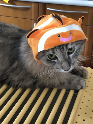 カクレクマノミのかぶりものをした猫