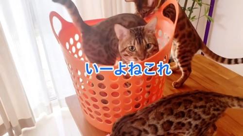 カゴに入る大人の猫