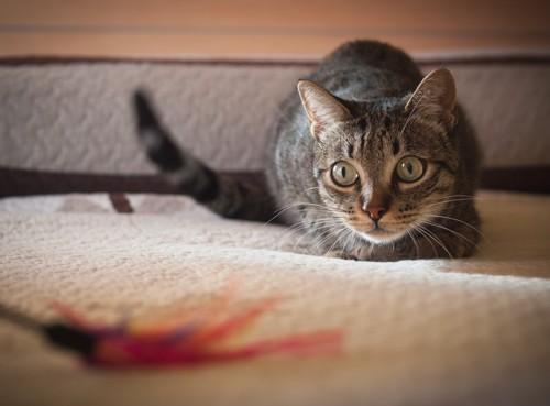 おもちゃを狙う猫の写真