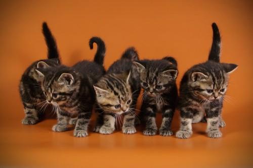 ブランタビーのアメリカンショートヘアの子猫たち