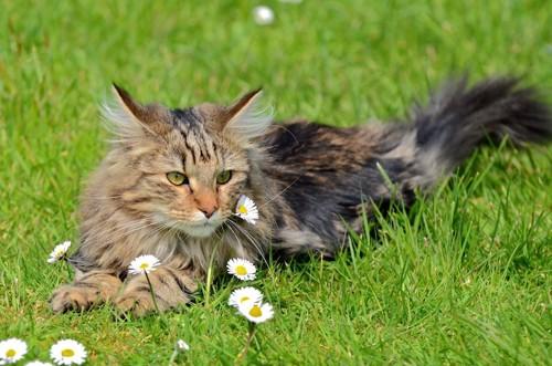 芝生の上でくつろぐノルウェージャンフォレストキャット