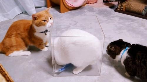 箱の中にいる猫と箱の外の2匹の猫