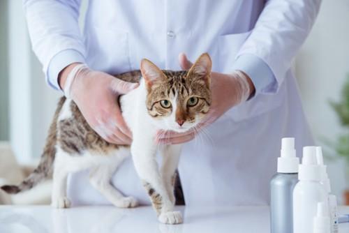 ノミの薬を使っている猫