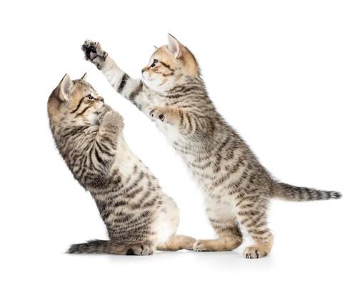 じゃれあって遊ぶ二匹の子猫