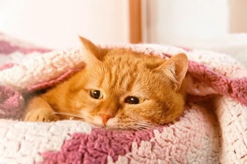 ピンクの毛布に包まる猫