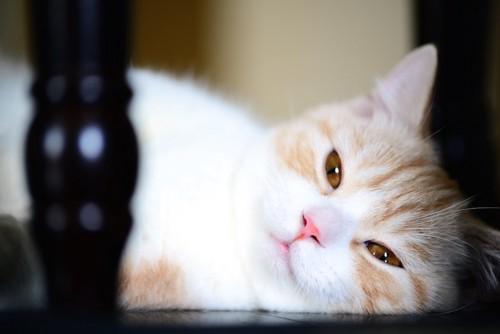 眠そうな表情で横になる猫