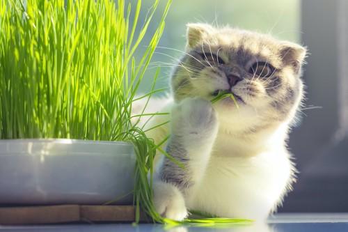 猫草をかじっている猫