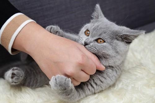人の手を噛むグレーの猫