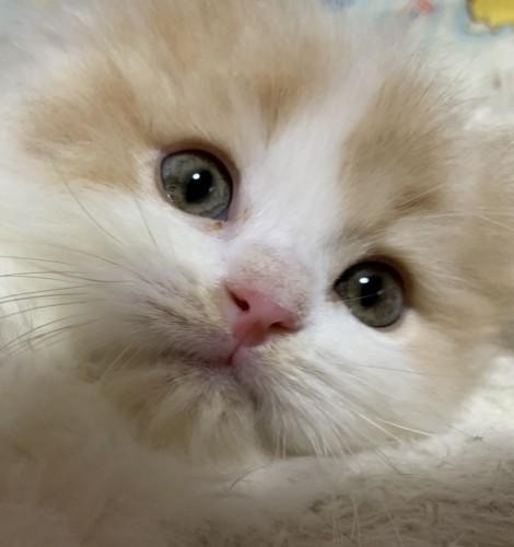 もふもふな子猫の顔アップ