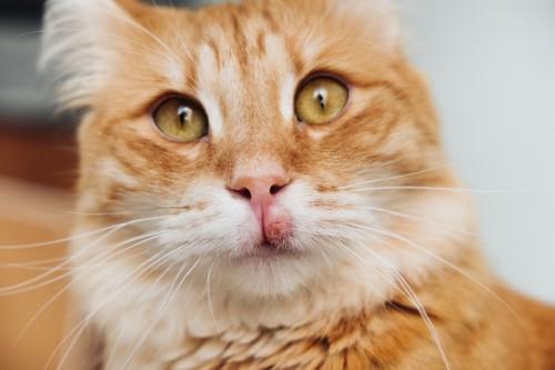 口が腫れた猫