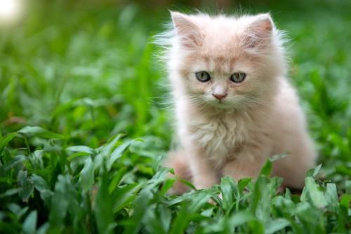 キトンブルーの子猫