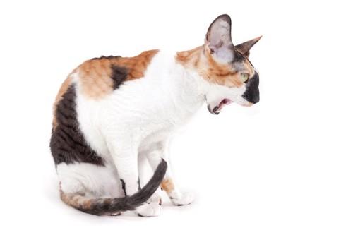 吐きそうで吐かない座っている猫